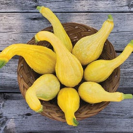 High Mowing Organic Seeds 2910-A Yellow Crookneck Summer Squash Seed